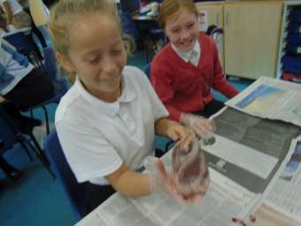 heart dissection year 6 2 340