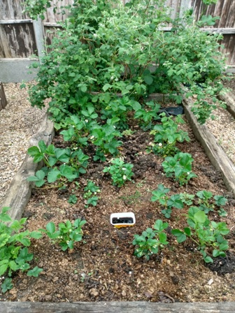 garden strawberry patch